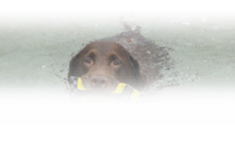 Dog swimming in pool holding branch in mouth